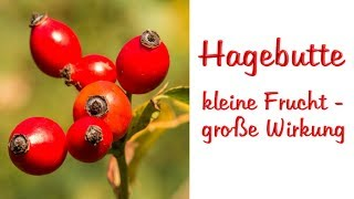 Hagebutte - kleine Frucht, große Wirkung |Bauchfett |Gelenkbeschwerden |Herbizide