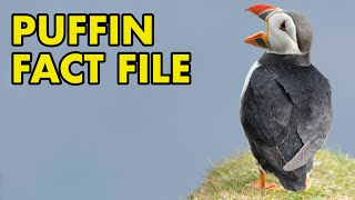 Puffin: Fact File (British Wildlife Facts)