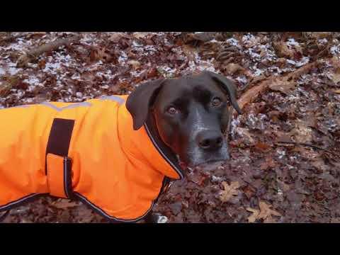 Camille, an adoptable Labrador Retriever Mix in Danbury, CT