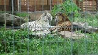 preview picture of video '2 Beautiful Tigers At Living Treasures Wild Animal Park'