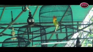 LOVEBRID KUSUMO NGAMUK - CUP 2ND KLI PT. SEMEN GRESIK JAWA TIMUR