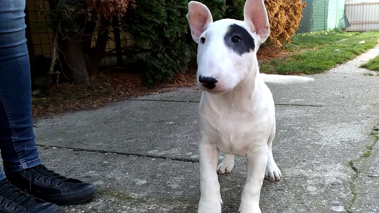 Jesse James Bull Terrier Puppy For