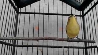 Pleci Dakun Kelud Speed, Isian Kolibri