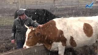 Фермер из Зеленчукского района КЧР самостоятельно занимается селекцией молочного стада