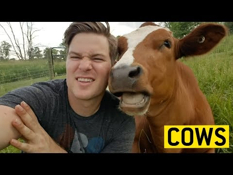 , title : 'COWS acting like PUPPIES 🐄🐶🐮 || JukinVideo