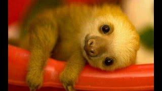 ТОП 5 лучшие видео с ленивцем. Милый ленивец.