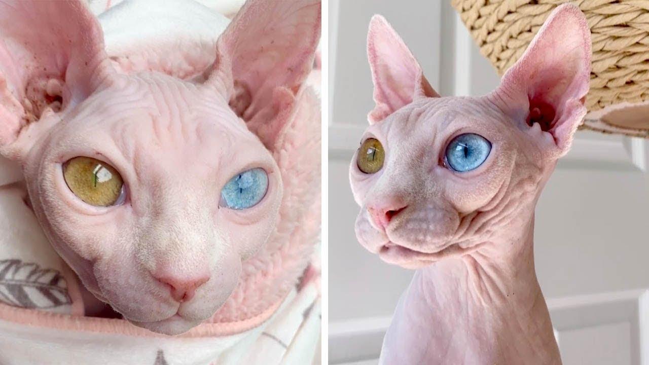 Кошки с разноцветными глазами