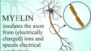What is the Purpose of Myelin Sheath
