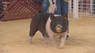 What makes a winning pig at the State Fair of Texas?