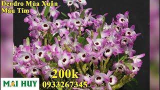 Dendro mùa xuân - Màu tím - Hoa nở Dịp tết-200k [ Mai Huy ]