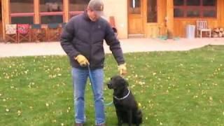 How to Train Labrador Retrievers