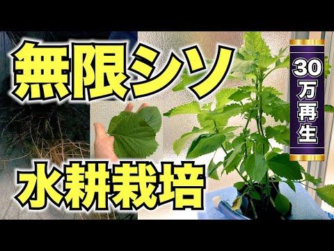 , title : '無限にシソが収穫できる水耕栽培装置を自作した