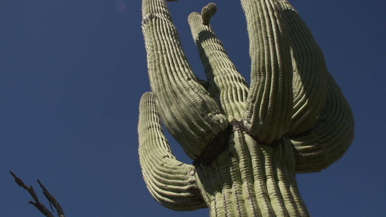 Saguaro Census