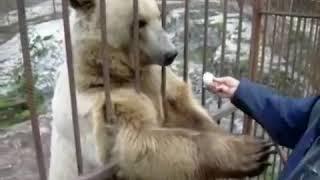 Лучшее видео! Медведь стесняется!