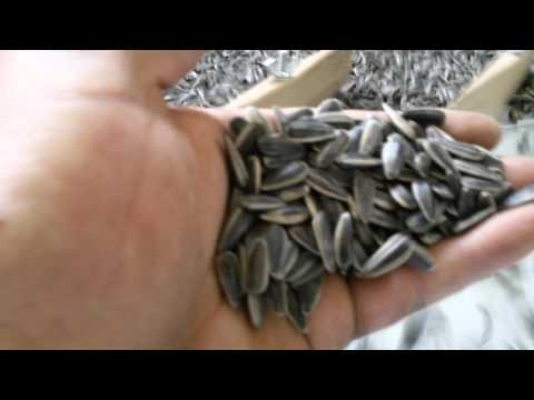 Striped Sunflower Seed Gravity Separation Serbia Video