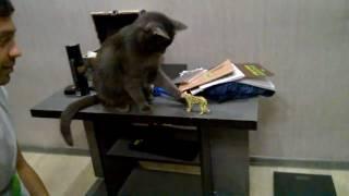 animale pisica rea