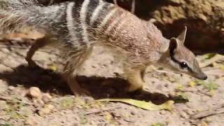 Wild Release Ahead for Perth Zoo Born Numbats