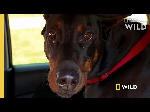 A Doberman Gets a Check-up  | The Incredible Dr. Pol