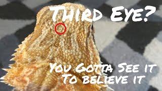 BEARDED DRAGON FUN FACTS | Bearded dragon third eye
