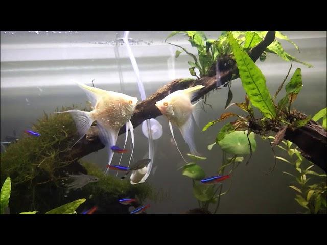 Prilaku Aneh Ikan Manfish Silver Dalam Aquascape