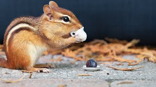 Chipmunk Extravaganza! Ultimate Video For Cats To Watch