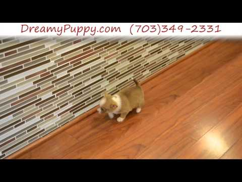 Stunning Pomchi Male Puppy 3