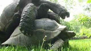 Черепахи секс видео