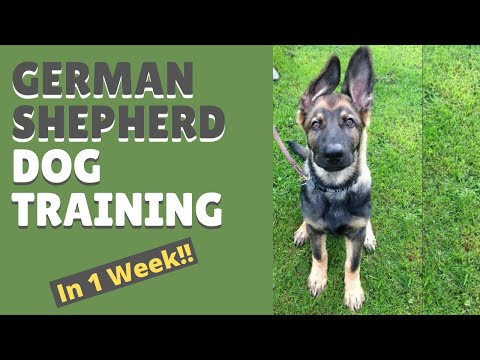 German Shepherd Dog Training and Mastering the Art of Attention in Only 1 Week