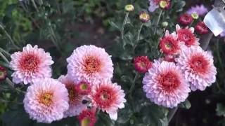 Хризантема в моём саду.Как  размножить,ухаживать и вырастить хризантему.