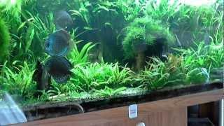 Diskus 664 Liter Aquarium // Discus 664 liter aquarium