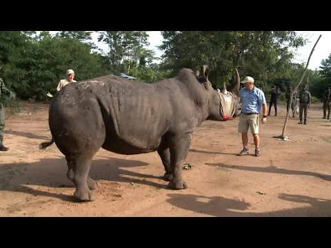 Sauvetage des rhinocéros