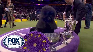 'Siba' the standard poodle wins Best in Show at 2020 Westminster Kennel Club Dog Show | FOX SPORTS