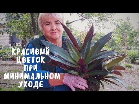 ТРАДЕСКАНЦИЯ - ЦВЕТОК НЕ ТРЕБУЮЩИЙ ОСОБОГО УХОДА. Мои цветы. Мой опыт.