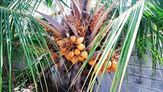 How to take care coconut tree