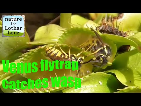 Yellow jackets being caught by Venus flytraps