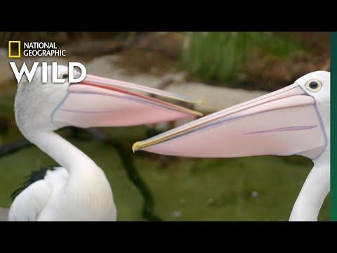 Australian Pelicans Take a Walk | Secrets of the Zoo: Down Under
