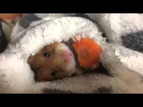 Nice hamster with a piece of carrot.