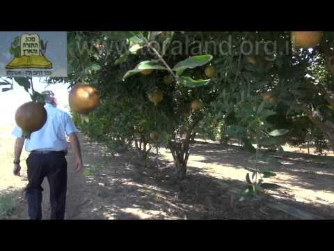 נצרים בעץ רימון