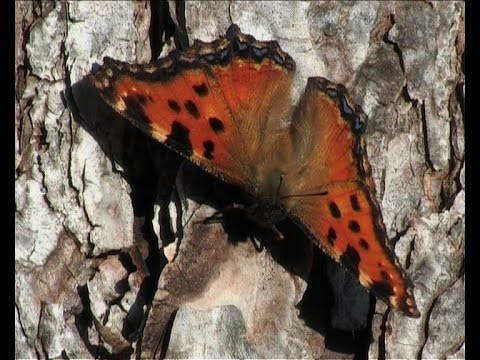 The Large Tortoiseshell (Nymphalis polychloros)