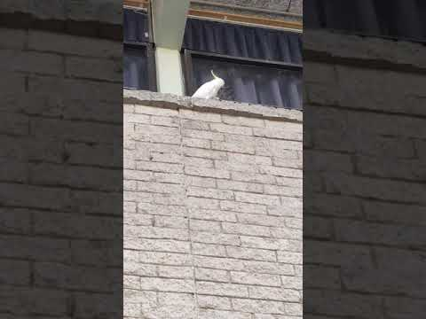 Cockatoo removes bird deterrent spikes from ledge in Australia