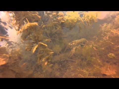 Edelkrebs im Blausteinsee, Blausteinsee,Eschweiler,Nordrhein-Westfalen,Deutschland