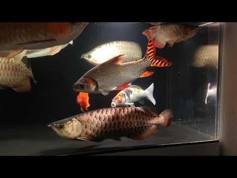 錦鯉導入 昭和三色30cm