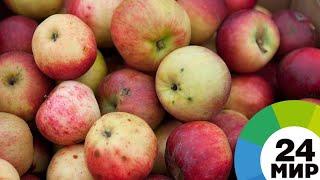 Сладкие и ароматные: в Кабардино-Балкарии собирают богатый урожай яблок - МИР 24