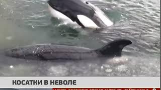 Косатки в неволе. Новости 22/02/2019. GuberniaTV