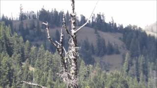 Hunters Observe Bigfoot While Packing Elk In Washington Mountains