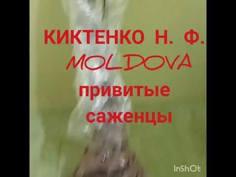 Саженцы КИКТЕНКО Н.Ф. (MOLD) прибыли в Чернигов. Saplings KIKTENKO N.F. (MOLD) arrived in Chernigov.