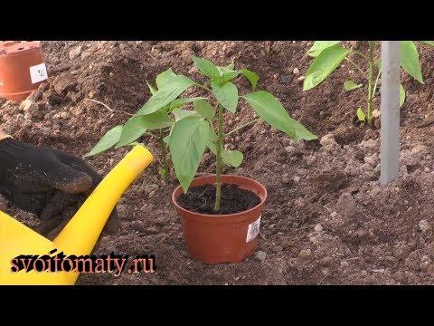 Правильная высадка рассады перцев залог хорошего урожая