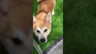 bán chó akita 5 tháng tuổi (tháng 08/2018)