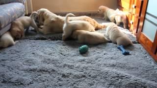 Cachorros con 40 días