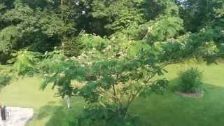 Repairing a Mimosa  tree that split in half